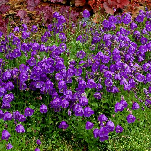 Jelly Bells Bellflower