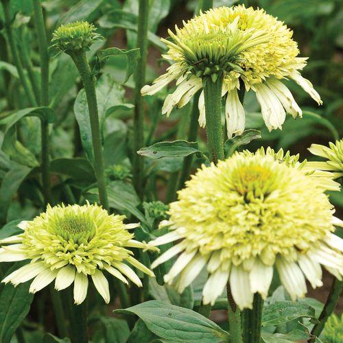 Echinacea Cone-Fections™ Honeydew
