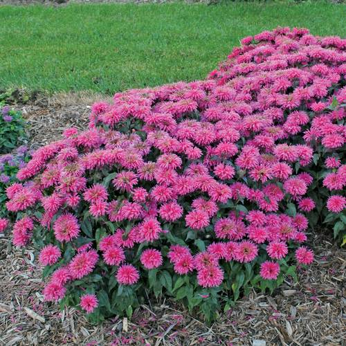 Monarda Sugar Buzz® 'Bubblegum Blast'