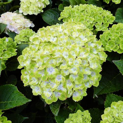 Everlasting Green Cloud Hydrangea