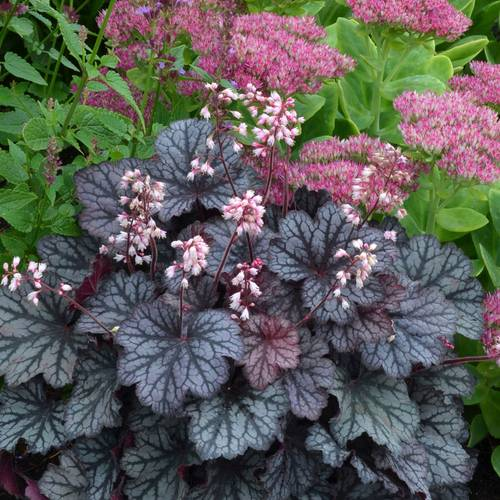 Heuchera Little Cutie™ 'Frost' PP24547