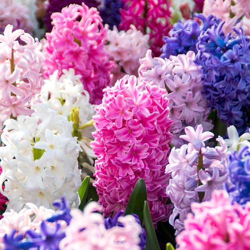 Hyacinth Border Mix (pack of 10)