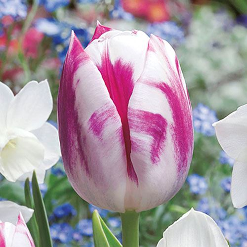 Tulip Butterfly Kisses Mix