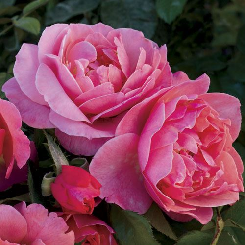 Spice It Up 24-Inch Patio Rose
