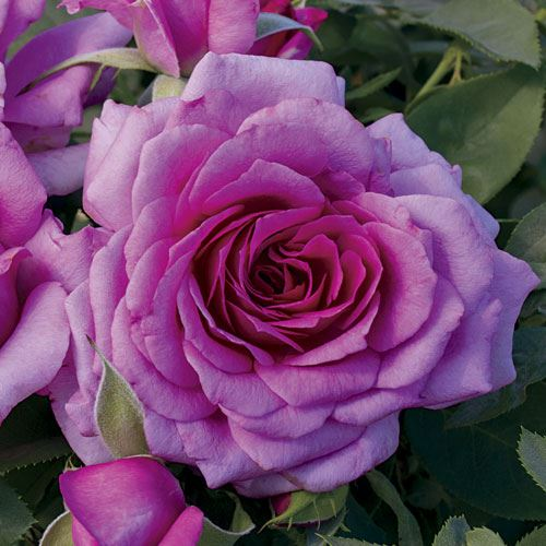 Simply Magnifiscent 36-Inch Tree Rose