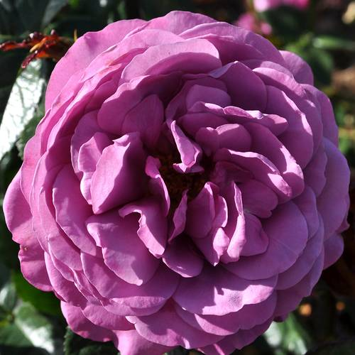 Rose Plum Perfect Sunbelt