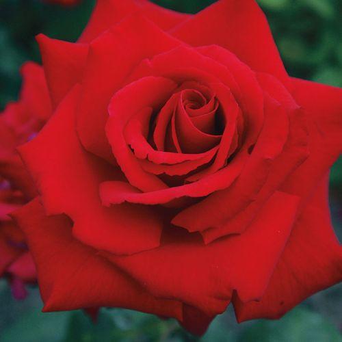 Grande Amore™ Eleganza® Hybrid Tea Rose