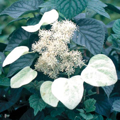 Schizophragma 'Moonlight'