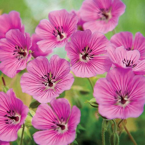 Pink Penny Geranium