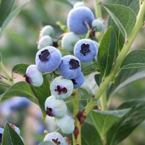 Chandler Blueberry