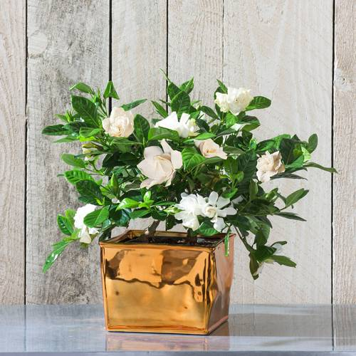 Gardenia gifts have a lovely look and fragrance