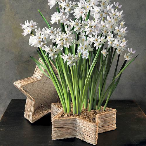 Paper Whites in Woven Star Basket
