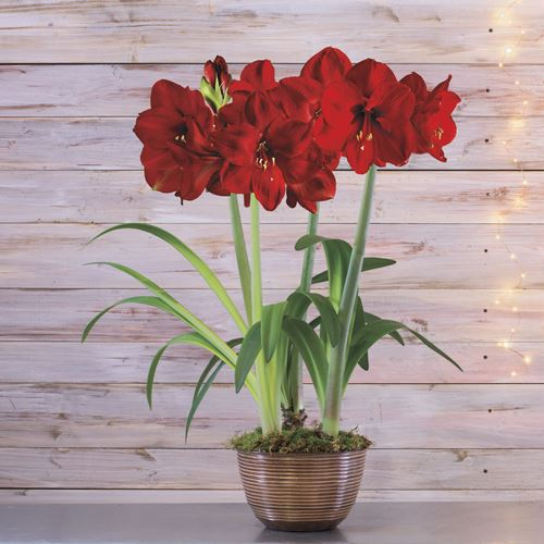 Grand Trumpet Red Amaryllis in Woodland Pot