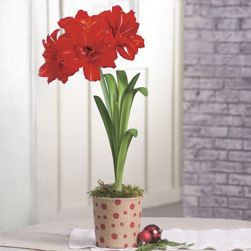 Grand Trumpet Double Red Amaryllis in Red Dot Printed Burlap Pot Single