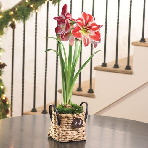 Beautiful amaryllis gift perfect for any recipient