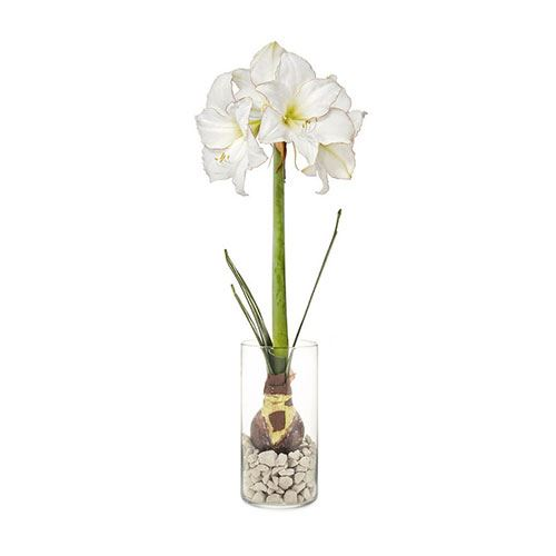 Picotee Amaryllis Winter Bulb Kit