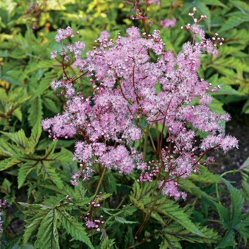 Filipendula 'Red Umbrellas'