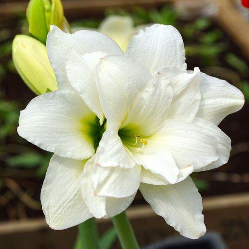 Sonatini Alasca Amaryllis