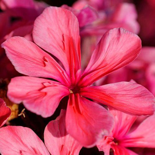 Phlox Paniculata Cleopatra