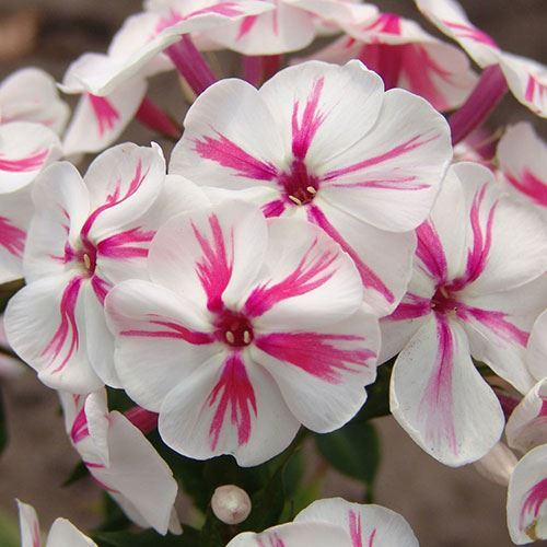 Phlox Paniculata 'Twister'
