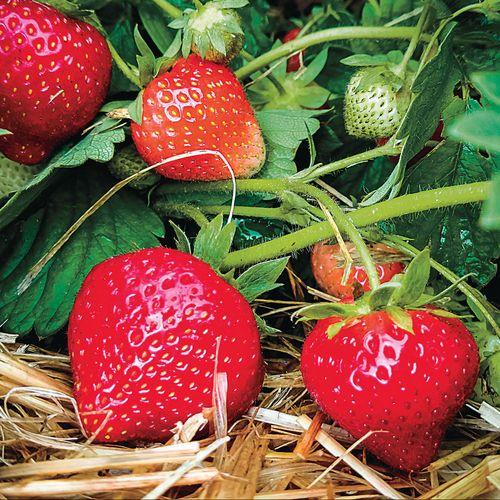 Eclair Strawberry Plants