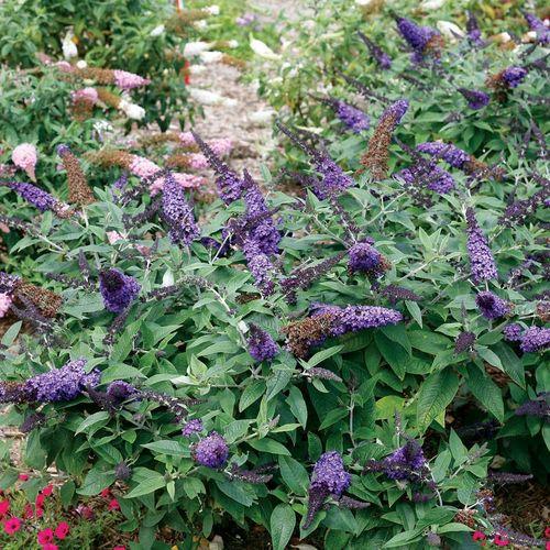 Pugster Blue™ Butterfly Bush