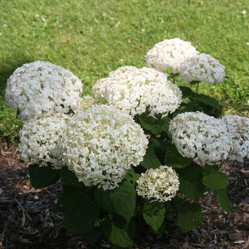 Invincibelle Wee White™ Hydrangea