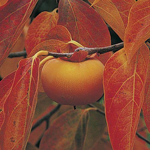 Early Fuyu Persimmon Tree