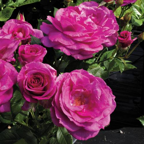Sweet Intoxication Floribunda Rose