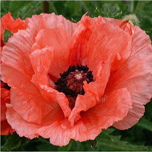 Double Pleasure Oriental Poppy