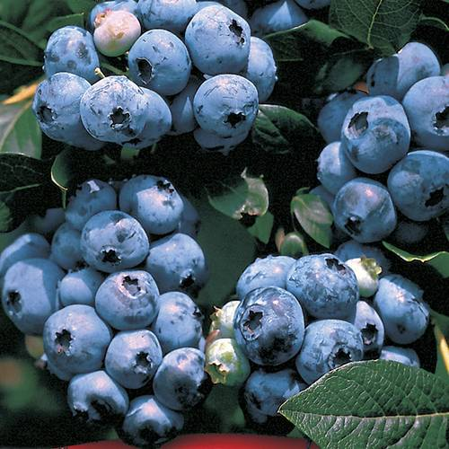 Blueberry 'Tophat'