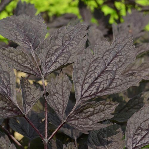 Black Negligee Actea