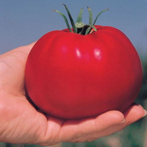 Park's Whopper CR Improved Hybrid Tomato (pack of 3)