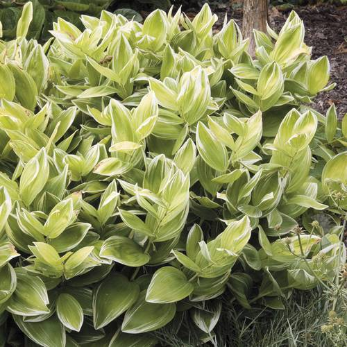 Variegatum Polygonatum odoratum Solomon's Seal Plant