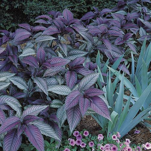Purple Persian Shield (pack of 3)