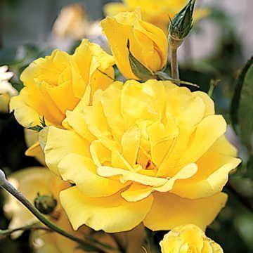 'Golden Showers' Climbing Rose