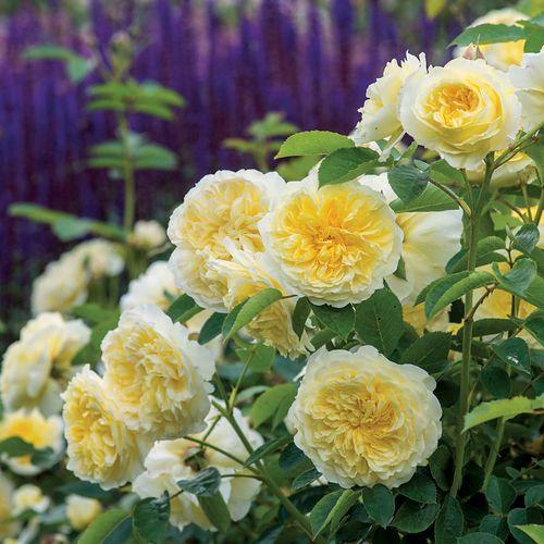 The Pilgrim® Shrub Rose