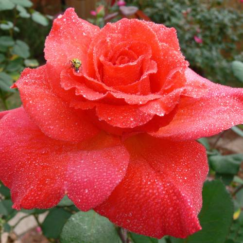 Rose Fragrant Cloud Hybrid Tea