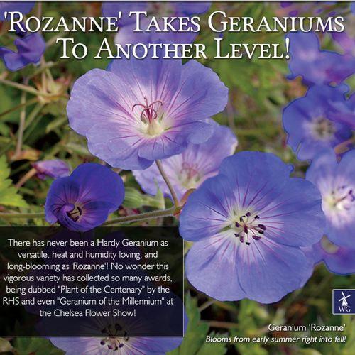 Rozanne Geranium