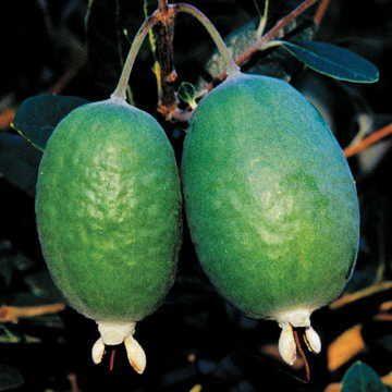 Pineapple Guava Shrub
