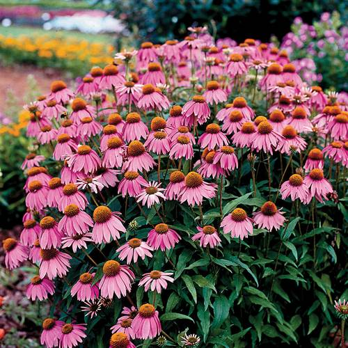 Kim's Knee High Coneflower