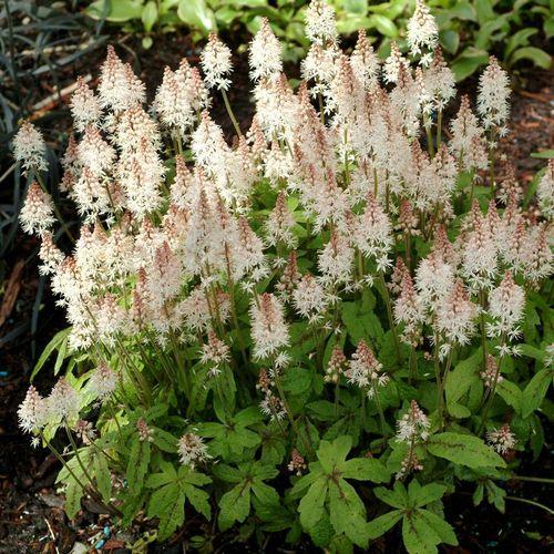 'Spring Symphony' Foamflower