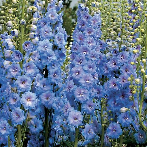 Delphinium 'Blue Lace'
