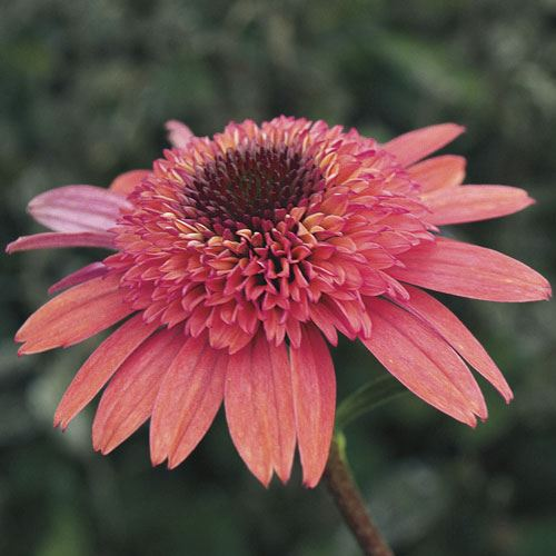 Echinacea Cone-fections™ Raspberry Truffle