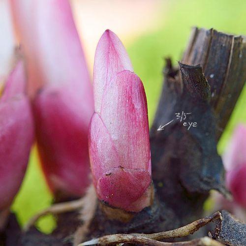 Gardenia Paeonia
