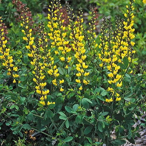Lemon Meringue Baptisia False Indigo Plant