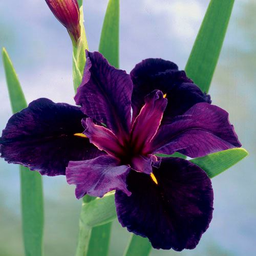 Iris 'Black Gamecock'