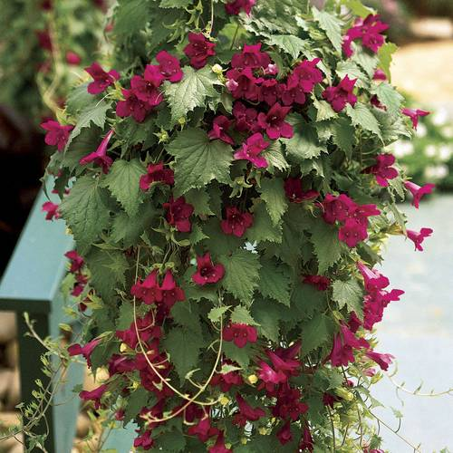 Creeping Gloxinia Lofos® Wine Red
