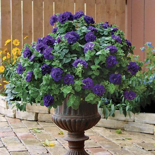 Double Wave Blue Velvet Petunia (pack of 3)