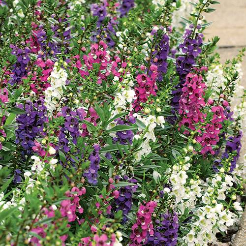 Angelonia Serenita® Mix Plants